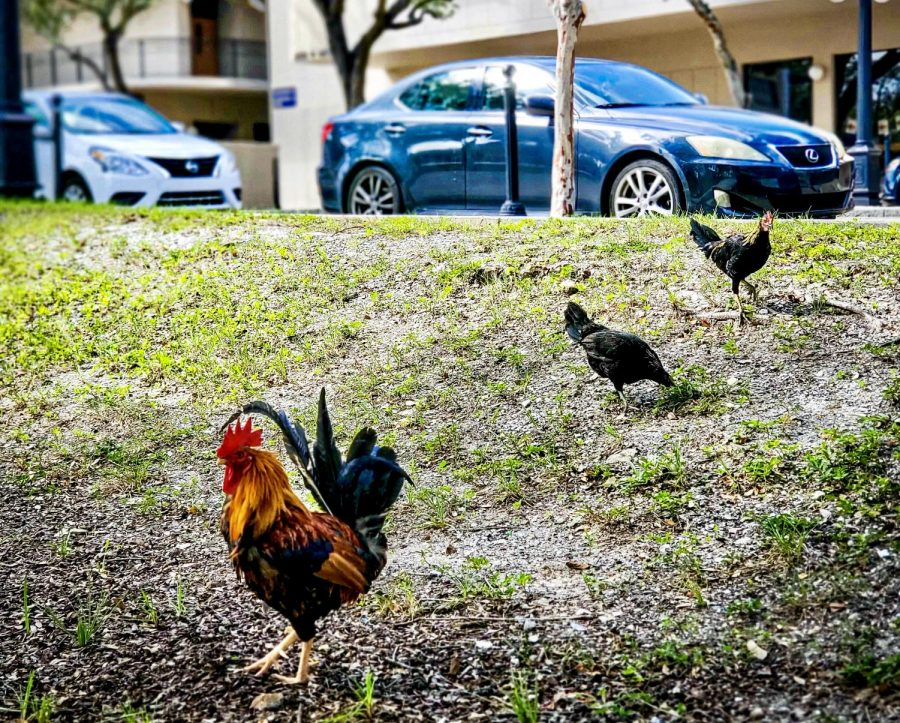 According to Dylan Breese of the Ybor Chicken Society, there are roughly 300 feral chickens in Ybor City.